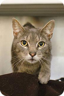 Domestic Shorthair Cat for adoption in Peace Dale, Rhode Island - Erik