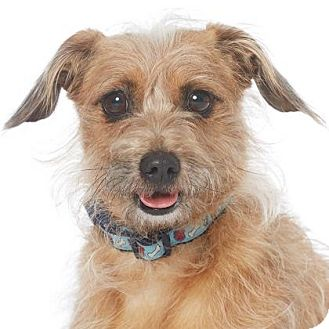 Dachshund/Norfolk Terrier Mix Dog for adoption in Los Angeles, California - Lucas
