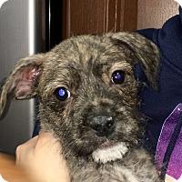 Adopt A Pet :: Scruffy CL - Schertz, TX