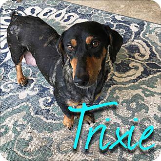 Dachshund Mix Dog for adoption in San Antonio, Texas - Trixie