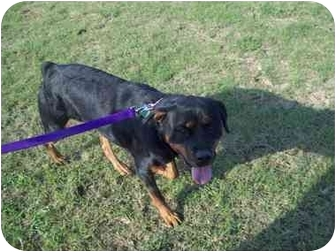 Rottweiler Dog for adoption in Kaufman, Texas - Lady