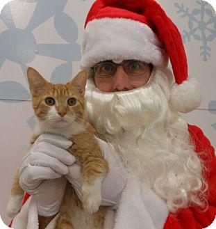 Domestic Shorthair Kitten for adoption in Reston, Virginia - Carmel