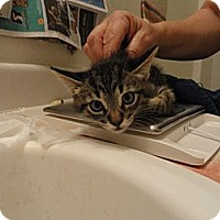 Adopt A Pet :: Kitty - Phoenix, AZ