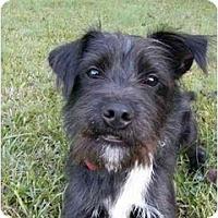 Adopt A Pet :: Bingo - Mocksville, NC