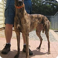 Adopt A Pet :: Ivy - Oak Ridge, NC