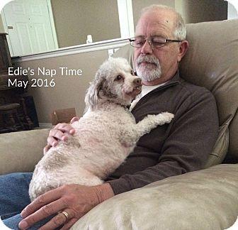 Poodle (Miniature)/Lhasa Apso Mix Dog for adoption in Sheridan, Oregon - Edie