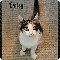 Calico Kitten for adoption in Sherman Oaks, California - Daisy