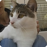Domestic Shorthair Cat for adoption in Cherry Hill, New Jersey - River