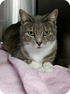 Domestic Shorthair Cat for adoption in Voorhees, New Jersey - Gail