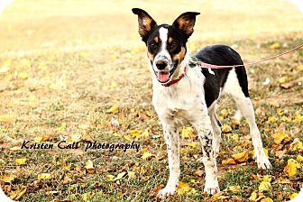 Border Collie Mix Puppy for adoption in Allen, Texas - Asia