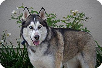 Husky/German Shepherd Dog Mix Dog for adoption in Mira Loma, California - Bowie