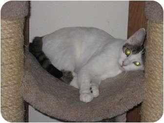 Turkish Van Cat for adoption in Huffman, Texas - Tess