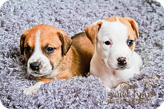 Boxer Mix Puppy for adoption in Chattanooga, Tennessee - Boxer Puppies