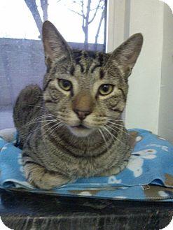 Bengal Cat for adoption in Huntington Station, New York - TONY
