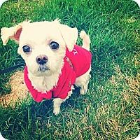 Adopt A Pet :: Chester - Denver, CO