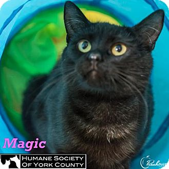 Domestic Shorthair Cat for adoption in Fort Mill, South Carolina - Magic