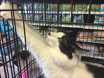 Domestic Mediumhair Cat for adoption in Gilbert, Arizona - Whiskers