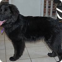 Adopt A Pet :: Genevieve - Minot, ND