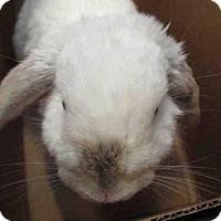 Mini Lop for adoption in Goleta, California - MILKMAN