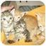Photo 1 - Domestic Shorthair Kitten for adoption in Little Neck, New York - STILL AVAIL
