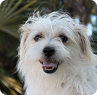 Terrier (Unknown Type, Medium)/Shih Tzu Mix Puppy for adoption in Davie, Florida - Baby Theodore