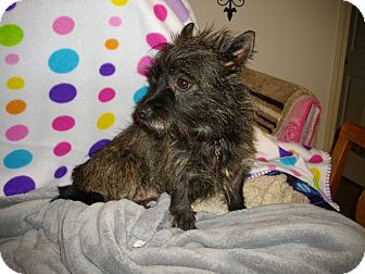 Cairn Terrier Mix Dog for adoption in Sheridan, Oregon - Dorothy