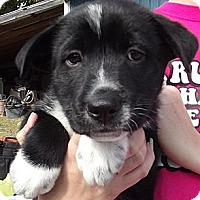 Adopt A Pet :: Van Halen - Allentown, PA