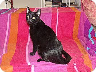 Domestic Shorthair Cat for adoption in Scottsdale, Arizona - Finn - trill in voice