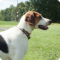 Foxhound/Whippet Mix Dog for adoption in richmond, Virginia - Willow
