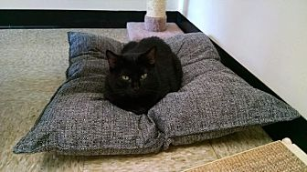 Domestic Shorthair Cat for adoption in Pineville, North Carolina - Ebony Reese