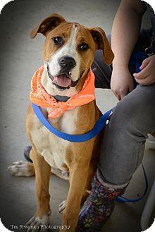 Boxer Mix Dog for adoption in Muldrow, Oklahoma - Jetsum