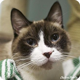 Snowshoe Cat for adoption in Los Angeles, California - Coltrane