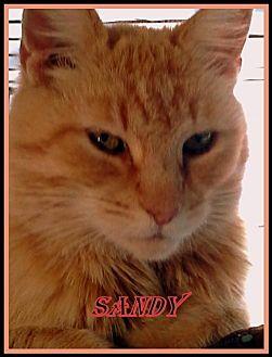 Domestic Mediumhair Cat for adoption in Berkeley Springs, West Virginia - Sandy