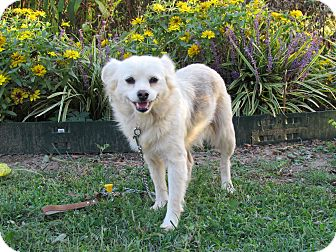 Pomeranian Mix Dog for adoption in Bedminster, New Jersey - FLIP