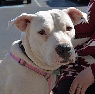 American Pit Bull Terrier Mix Dog for adoption in Rockville, Maryland - Harper
