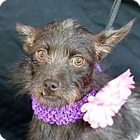 Adopt A Pet :: Triscuit - Plano, TX