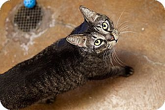 Domestic Shorthair Cat for adoption in Carencro, Louisiana - Butch