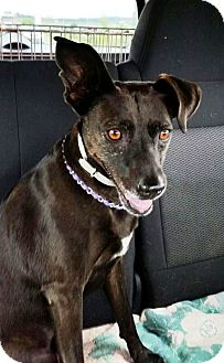 Terrier (Unknown Type, Medium) Mix Dog for adoption in Transfer, Pennsylvania - Brownie