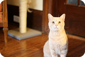 Domestic Shorthair Cat for adoption in THORNHILL, Ontario - Donaldson