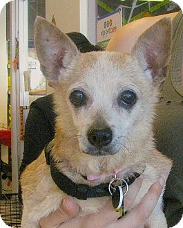 Chihuahua Mix Dog for adoption in Beverly Hills, California - JUSTINE