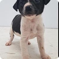 Adopt A Pet :: Cookies & Cream Puppies - Pompton Lakes, NJ
