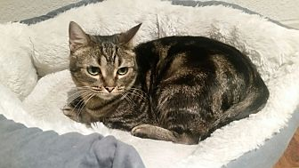 American Shorthair Cat for adoption in Houston, Texas - Cici