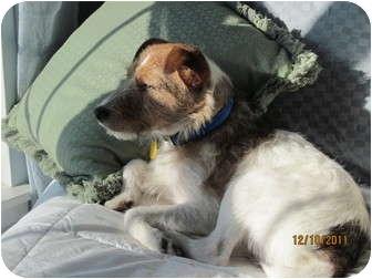 Jack Russell Terrier Dog for adoption in Omaha, Nebraska - Burton