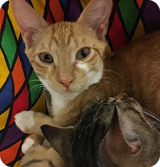 Domestic Shorthair Kitten for adoption in Boynton Beach, Florida - Rio