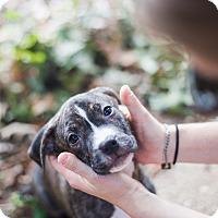Adopt A Pet :: Pepper - Reisterstown, MD