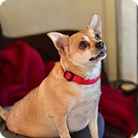 Adopt A Pet :: Chalupa - Patterson, NY