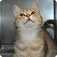 Adopt A Pet :: Tinsel - Windsor, VA