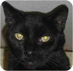 Domestic Shorthair Cat for adoption in Lombard, Illinois - French-Fry