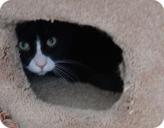 Domestic Shorthair Cat for adoption in Gardnerville, Nevada - Billy