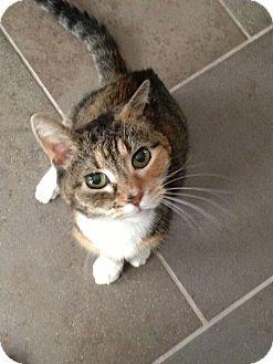 Calico Cat for adoption in Horsham, Pennsylvania - Brenda